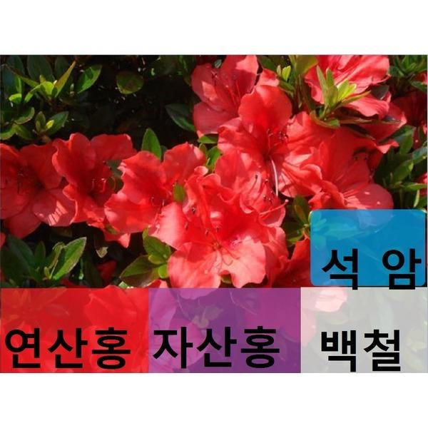 연산홍 영산홍 자산홍 백철 석암  4종세트1800원