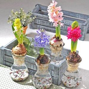 봄을 부르는 향기꽃 히아신스 수경재배 공기정화식물