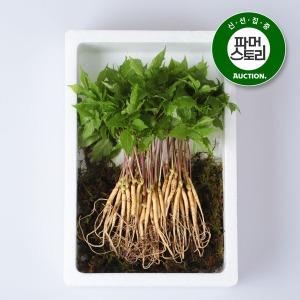 전남 장성 문영철님의 새싹삼 보통 70뿌리