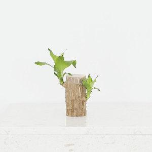 수경식물 행운목 소 행운목키우기 수경재배 천연가습