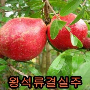 왕석류결실주/석류/나무/묘목/구기자/유실수/사과/감