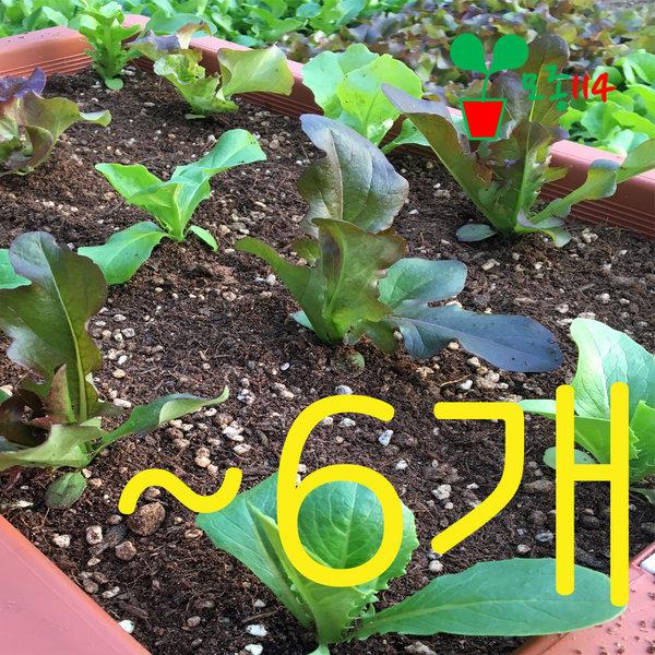 상추 모종 114 시장 꽃 딸기 채소 베란다 텃밭 모종팜