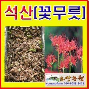 (소망)석산구근(꽃무릇구근 30개 묶음)석산구근판매