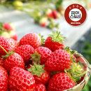 경남 하동 딸기 1kg(상)
