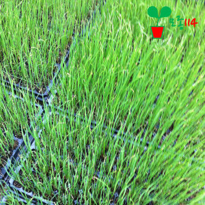 대파 모종 (6개) ~베란다 텃밭 시장 씨앗 채소 묘종