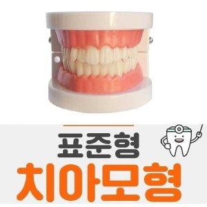 치아모형 치아구조 이빨모형 구강모형 (표준형)
