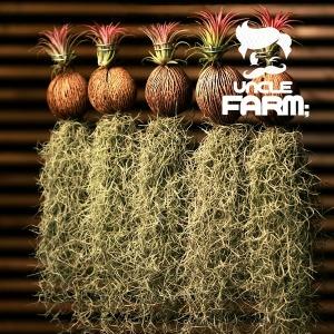 공기정화식물 코코넛 이오난사 틸란드시아 대 1+1