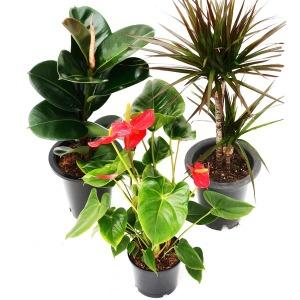미세먼지 공기정화식물 중대형 화분 아레카야자