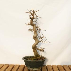 소사 나무 중형 야생화 분재 베란다 정원 책상 화분