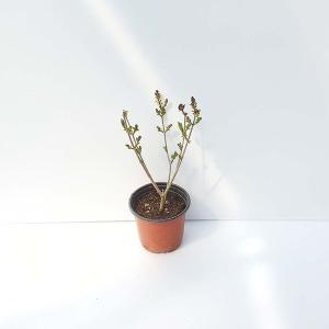 미스킴 라일락 포트 나무 분재 공기정화식물 책상화분