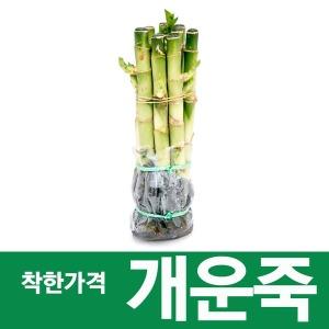 소울라인 초특가 개운죽 20cm 10개묶음 공기정화식물