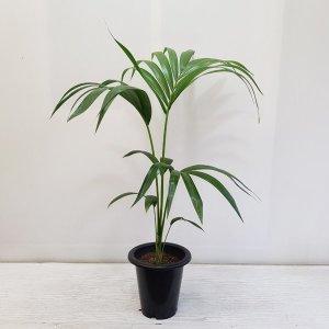 (온누리꽃농원) 오리지널 겐차야자/공기정화식물