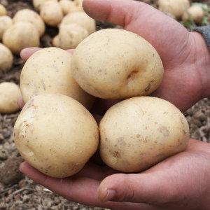 20년 햇 수미 감자 5kg(중) 6900원