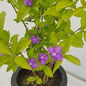 (온누리꽃농원) 브롬펜자스민/공기정화식물/반려식물