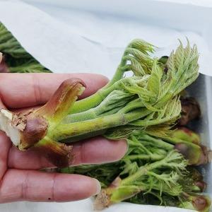 백운산 참두릅 1kg 직접 채취한 청정자연산 야생두릅