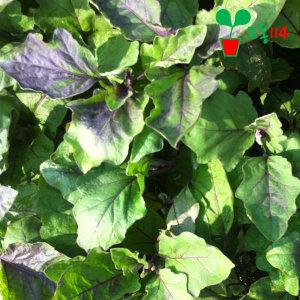 대장가지 모종 (1개) ~베란다 텃밭 시장 씨앗 채소 묘