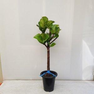 (온누리꽃농원) 떡갈 고무나무(외목대)/공기정화식물