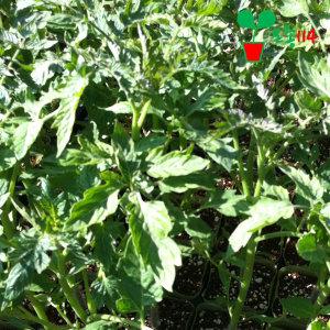 방울토마토 모종 (2개) ~베란다 텃밭 시장 씨앗 채소