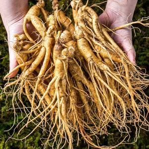 금산인삼 난발삼 소 750g 5년근 한채 뿌리많은삼 진공