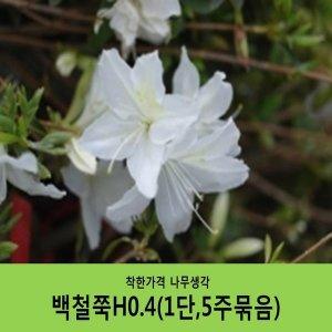 백철쭉H0.4(1단5주묶음)
