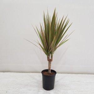 (온누리꽃농원) 마지나타/공기정화식물/반려식물