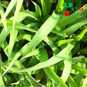 옥수수 모종 (5개) ~베란다 텃밭 시장 씨앗 채소 묘종