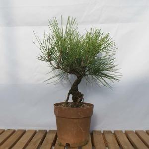 해송 미니 원형 소나무 소품 분재 나무 묘목 피톤치드