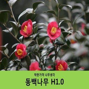 동백/동백나무/H1.0