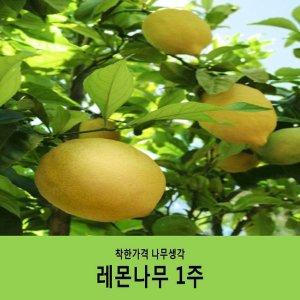 레몬/레몬나무/결실주/분묘/화분미포함