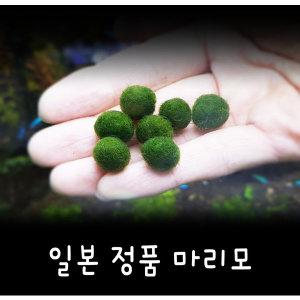 정품 마리모 (1cm 전후 2개)