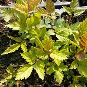눈개승마모종 10주/삼나물모종