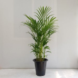 (온누리꽃농원) 아레카야자 중대형/공기정화식물