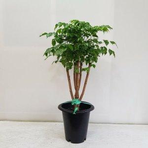 (온누리꽃농원) 녹보수 신종/공기정화식물/반려식물