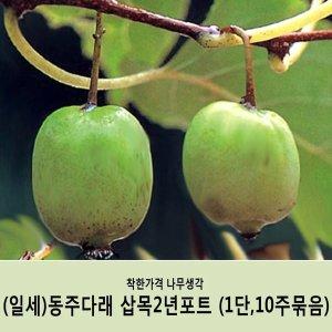 왕다래/(일세)동주다래/삽목2년포트/(1단10주묶음)