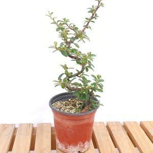 미니 백자단 분재 빨간열매 나무 인테리어 책상 화분