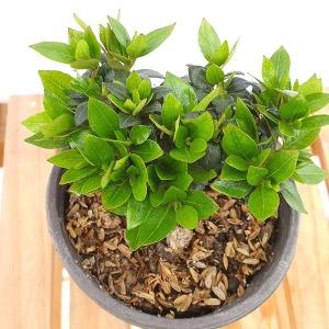 미니 왜 철쭉 녹산 각엽진산 분재 책상 화분