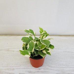 (온누리꽃농원) 엔조이스킨/공기정화식물/반려식물