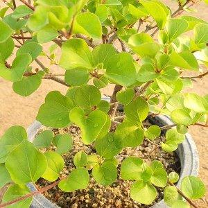 미스킴 라일락 소형 분재 나무 묘목 실내정화식물