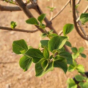 미스김 라일락 미니 묘목 나무 분재 공기정화식물