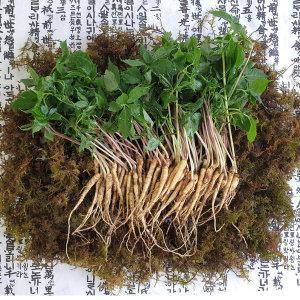강원도 당일수확 산삼초 새싹삼 1~2년산 40뿌리