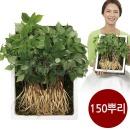 명품 청유담 새싹삼 새싹인삼 인삼새싹 사포닌 150뿌리