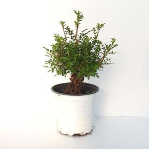 분홍 찔레 미니 장미 중형 근상 분재 나무 묘목