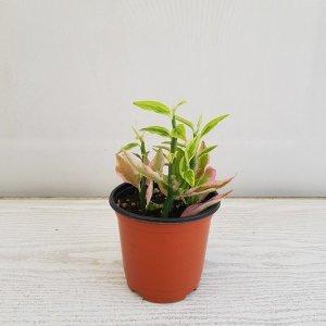 (온누리꽃농원) 천국의 계단/공기정화식물/반려식물