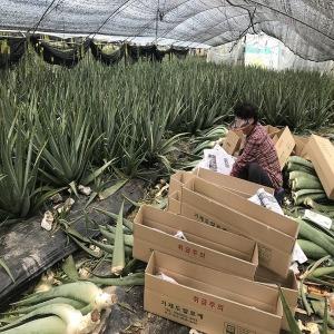 거제알로에생잎5kg무농약유기농친환경단단알로에베라