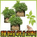 청유담 명품 새싹삼 50 뿌리 국내산 산지직송 인삼