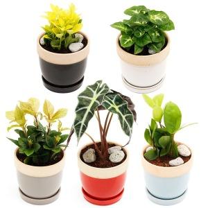 아침향기 도토리화분 공기정화식물 미세먼지제거 50종