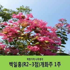 백일홍/ R2~3점/H1.5~1.7/개화주/개별화물택배포함