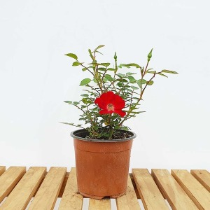 붉은 미니 사계 찔레 소형 장미 꽃 분재 화분