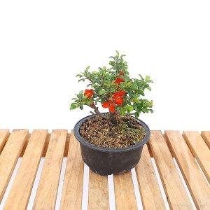장수매 중형 매화 나무 미니 분재 책상 화분