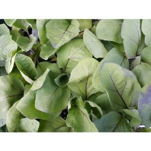 가지모종 5주(5포기)/ks종묘 흑일품가지 품종
